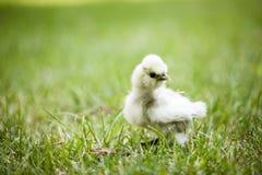 在草的Silkie小鸡 免版税库存图片