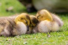 在草睡觉的可爱的婴孩幼鹅 库存照片