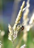 在草种子头的瓢虫 免版税图库摄影