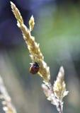 在草种子头的瓢虫 免版税库存图片