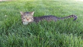 在草紧贴的虎斑猫 免版税库存照片