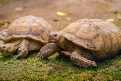 在草细节关闭的乌龟画象 库存照片