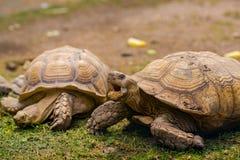 在草细节关闭的乌龟画象 免版税库存图片