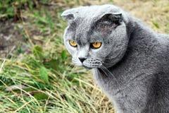 在草背景的严肃的灰色英国猫  库存照片