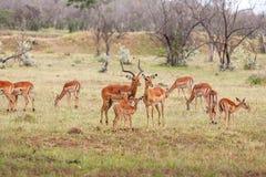 在草背景的羚羊  免版税图库摄影