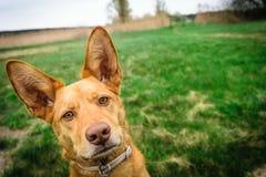 在草背景的被隔绝的podenco狗 免版税库存图片