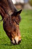 在草背景的马在乌克兰村庄 图库摄影
