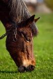 在草背景的马在乌克兰村庄 库存照片