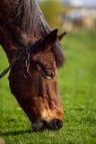 在草背景的马在乌克兰村庄 免版税库存照片