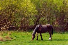 在草背景的马在乌克兰村庄 库存图片