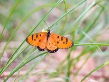 在草花的蝴蝶橙色黑发现花蜜  库存照片