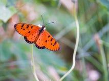 在草花的蝴蝶橙色黑发现花蜜  图库摄影