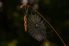 在草茎的蜘蛛网  库存图片