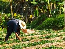 在草莓农场培养的农夫,清莱,泰国 免版税库存图片