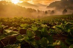 在草莓农场的日出 免版税图库摄影