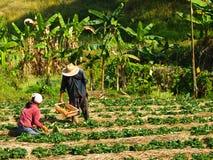 在草莓农场耕种的农夫,清莱,泰国 免版税库存照片
