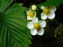 在草莓开花的蚂蚁 免版税图库摄影