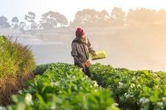 在草莓果子的农夫采撷 图库摄影