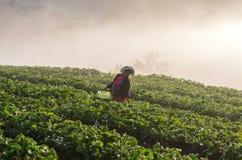 在草莓果子的未认出的农夫采撷 免版税图库摄影
