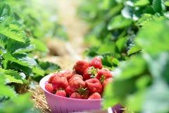 在草莓树丛背景安置的甜草莓 免版税库存图片