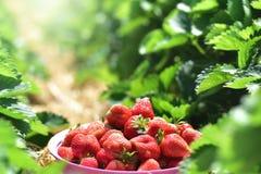 在草莓树丛背景安置的甜草莓 库存照片