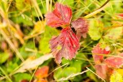在草莓的美丽的红色叶子在秋天 库存图片