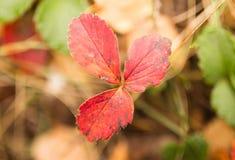 在草莓的美丽的红色叶子在秋天 免版税库存照片