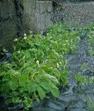 在草莓的水滴 免版税库存图片