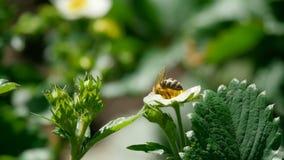 在草莓花的蜂 股票视频
