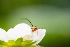 在草莓花的逗人喜爱的红色橙色昆虫臭虫看照相机和在被弄脏的绿色背景中移动他巨大的天线 免版税库存图片