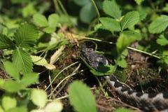 在草莓补丁的蛇蝎 免版税库存照片