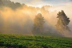 在草莓领域的早晨薄雾 库存图片