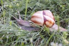 在草覆盖的蜗牛由露水 免版税库存照片