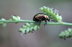 在草词根的一只珠宝甲虫 免版税库存图片