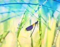在草词根的蜻蜓特写镜头  库存图片