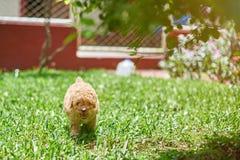 在草跑的小长卷毛狗小狗 库存图片