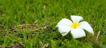 在草迷离背景的白花 免版税库存图片