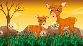 在草附近的两头鹿 库存照片
