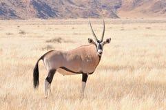 在草风景的羚羊属 库存图片
