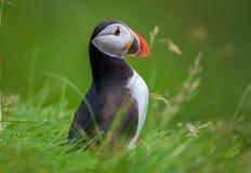 在草,冰岛的大西洋海鹦 免版税图库摄影