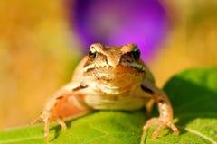 在草,在眼睛的焦点的青蛙 库存图片