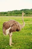 在草,夏时的驼鸟 免版税库存照片