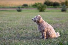 在草,外形的Tan狗 免版税库存照片