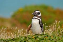 在草,滑稽的图象的企鹅本质上 福克兰群岛 麦哲伦企鹅在自然栖所 在自然的夏日,绿色 免版税库存图片