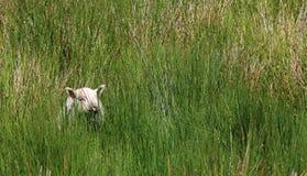 在草,爱尔兰的领域的小白色羊羔 图库摄影