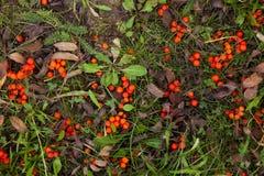 在草,秋天天,背景的花楸浆果 库存图片