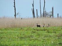 在草,立陶宛风景的两只獐鹿 免版税库存照片