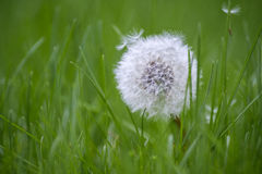 在草3的美丽的白色蒲公英 库存照片