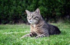 在草画象的猫 免版税库存照片