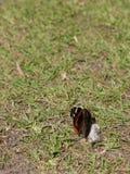 在草Groun声浪的一只蝴蝶春天光飞过Clos 免版税库存照片